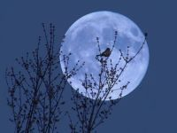 blue_moon_bird